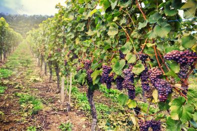 49634607-landscape-with-autumn-vineyards-and-organic-grape-on-vine-branches
