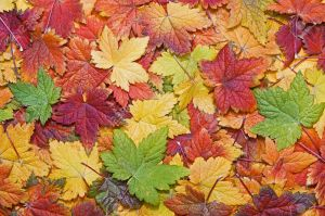 10794631-beautiful-autumn-leaves-filling-the-frame